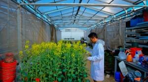 Pengontrolan tanaman sampel untuk kebutuhan eksperimen di salah satu green house yang dimiliki Huazhong Agricultural University.