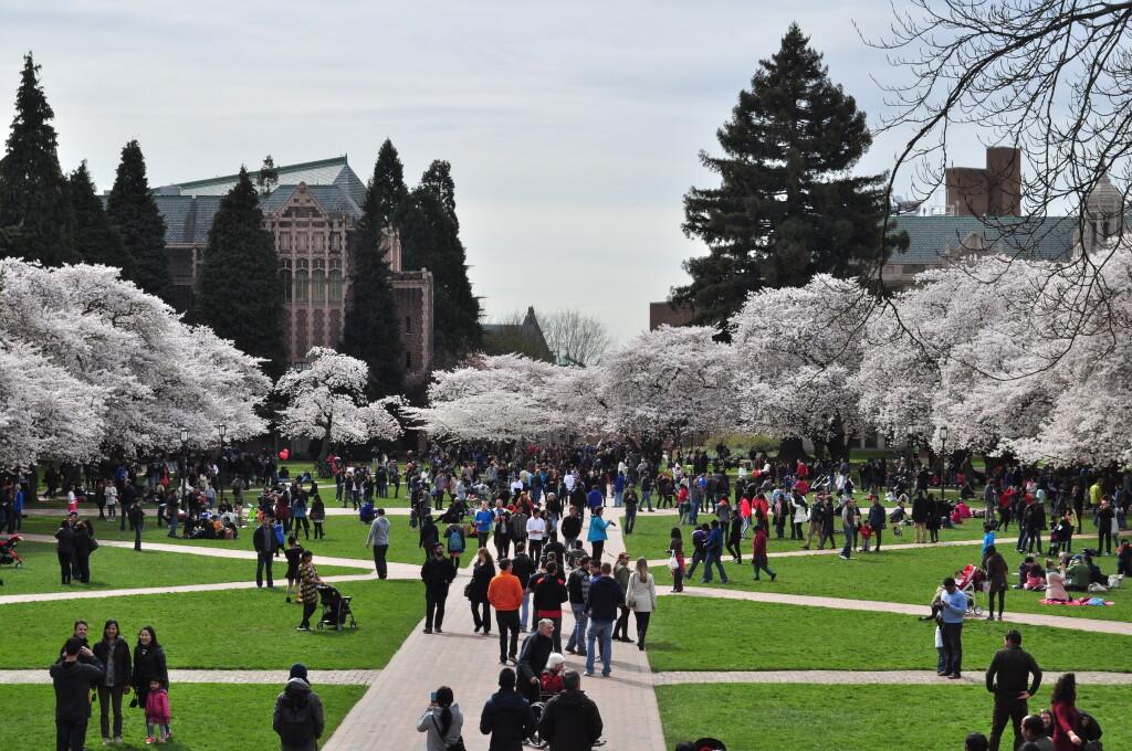 Cherry Blossom di University of Washington